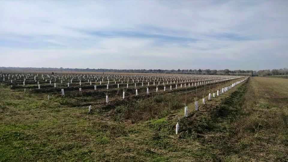 New crop of olive trees planted in 2014